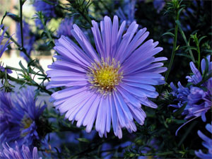 German (Blue) Chamomile